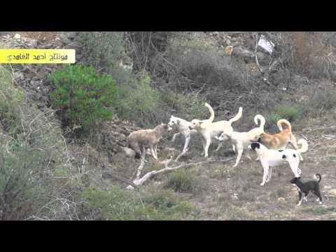 مجموعة كلاب على ذئب واحد Music Videos