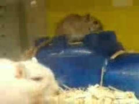 Hamster porno - YouTube