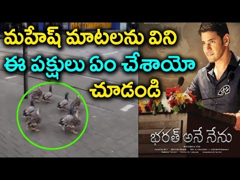 Bharat Ane Nenu Movie Effect on Ducks | Mahesh Babu | Viral Video | Tollywood Nagar