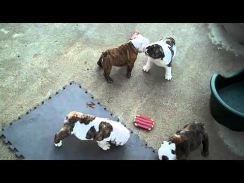 Bulldog puppies 7 1/2 weeks