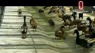 বাগেরহাটে উন্নত জাতের হাঁসের বাচ্চা সরবরাহ করছে খামারিরা