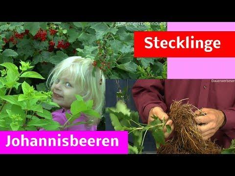 Johannisbeeren Stecklinge, Steckholz im Sommer selber machen