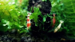 Neocaridina and Caridina Shrimp Tanks - 6 Different Breeds