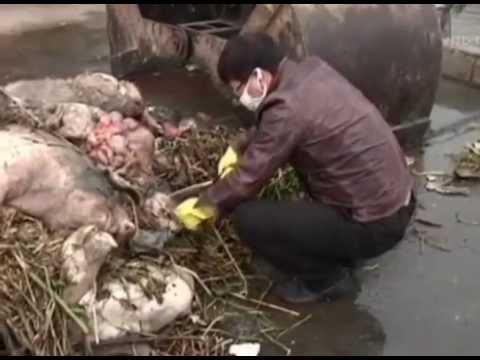 村職員 病死した豚の肉40トンを販売