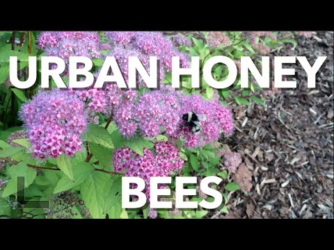 Backyard Honey Bees the Importance to Urban Living in the Alberta Urban Garden