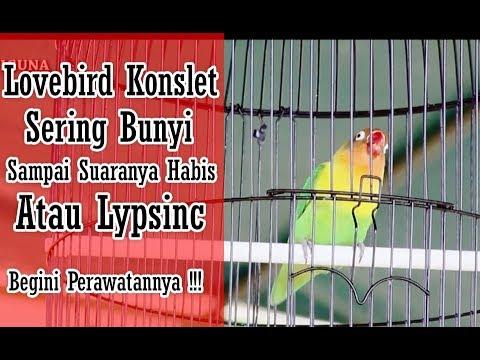 SUARA BURUNG - Mengatasi Lovebird Lypsinc, Suara Tidak Terdengar Bareng Ryadi Wisanggeni