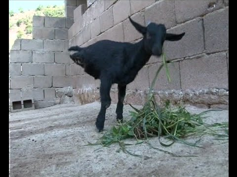 Stay Strong: Two-legged Lamb in Southwest China Astounds Residents