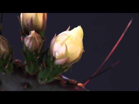 Blumen In Bewegung Timelaps