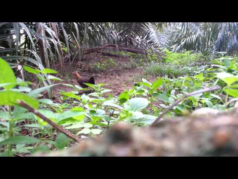 Ayam Hutan Pikat Betina - Warisan video