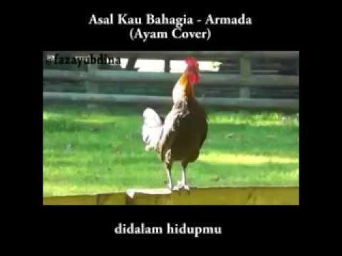 Si Jalu dan teman teman ayam nya cover lagu Armada(asal kau bahagia)