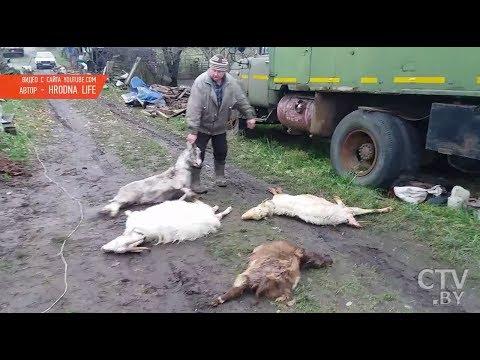 Собаки загрызли стадо коз в Гродно