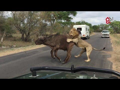 Leones matan a un búfalo frente a un grupo de turistas