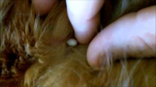 Wood Tick Dangers Tick Dangers To Dogs  Watch This.