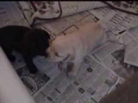 Labrador Puppies 20 Days Old 20 Day Old Labrador Retriever