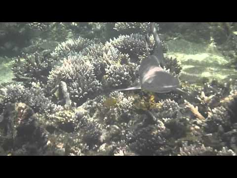 Baby reef shark at Redang Island, Malaysia April 2016 filmed  on the Nik Sarimah Mahmood Fox Reef.