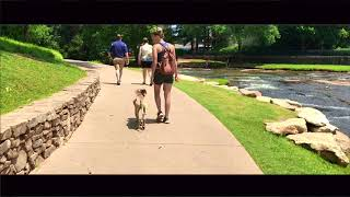 1 1/2 Old Lab Mix, Fred | Scared, Nervous Dog Trainers | Greenville Dog Trainers