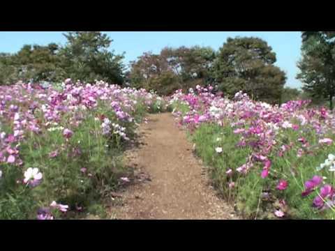 昭和記念公園のコスモスの丘 Cosmos flower 花の名所案内
