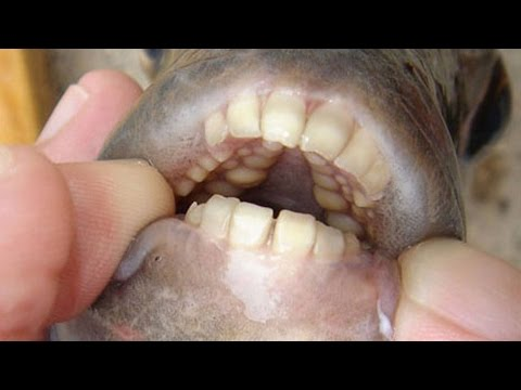 Testicle-Eating Fish With Human Teeth Found in US Lake