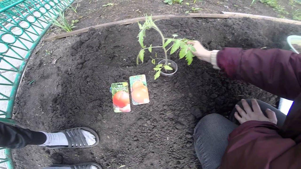 Сажаем томаты в грунт фото