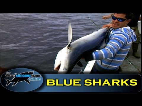 Blue shark fishing in Ireland