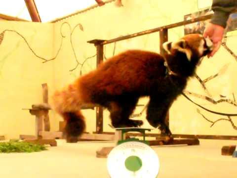 レッサーパンダ・デールの体重は何Kg?