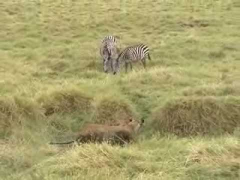 Lion Attack And Kill Zebra video