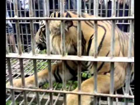 Harimau Sumatera di jerat oleh Warga Aceh Selatan