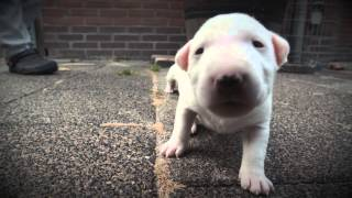 Mini Bull Terriers WeShootit puppies From Friar