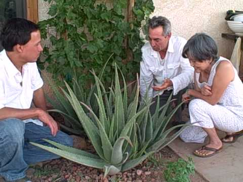 Growing Aloe Vera, Fruit Trees, Grapes and Vegetables in the Nevada Desert