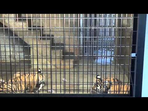 京都市動物園のトラさん食事[HD]