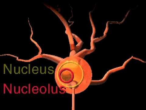 The Structure of a Neuron mov
