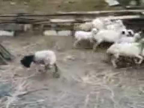 Strašna koza