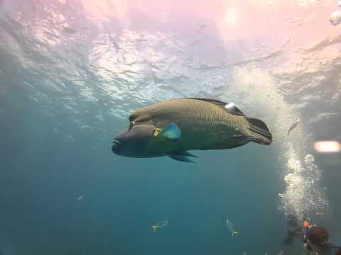 Diving TUSA T6 Sunday - Giant Māori Wrasse - Cairns the Great Barrier Reef Dive News!