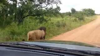 Large Male Lions marking territory on Safari in Kruger