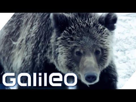 Wie man wilde Tiere überlebt - Can you Survive? | Galileo | ProSieben