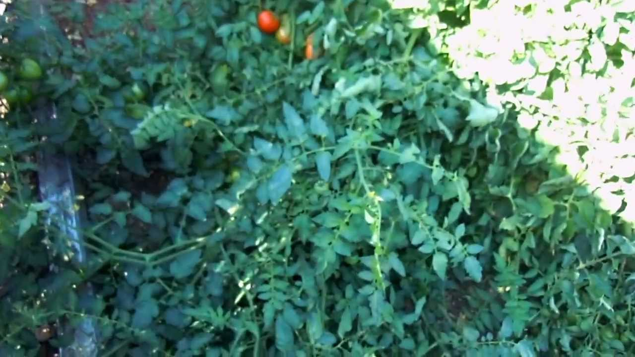 Best Compact Tomato to Grow in a Container on Your Patio ...