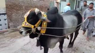 Malik Israr Bull Qurbani    Peshawar    2016    Eid ul Adha
