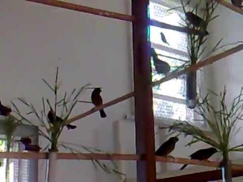 Pássaros Soltos no Criadouro Tropical