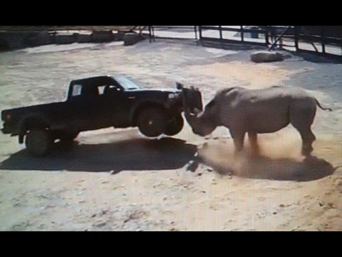 RHINO ATTACKING (( TRUCKS , BUSES , ANIMALS  AND HUMANS )) PART 1