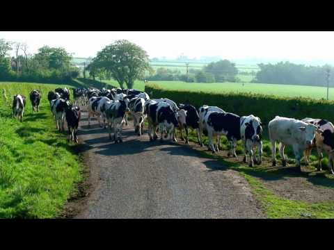 Cows walking to where the green grass grows