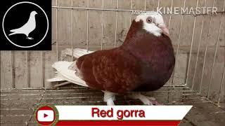 ৫০ এর বেশি জাতের কবুতর চিনে নিন ( 50 pigeons name )