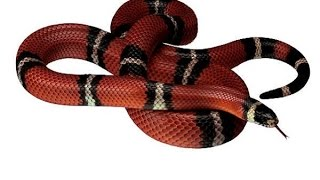 Snake: Animals for Children Kids Videos Kindergarten Preschool Learning Toddlers Sounds Songs Zoo