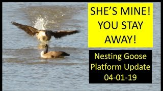 Nesting goose platform update Kapper Outdoors land management 04-01-19