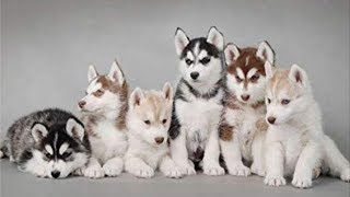 The Funniest and Cutest Husky Compilation of 2019 | HUSKY COMPILATION
