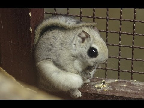 エゾモモンガの滑空訓練~Russian flying squirrel,Practice which flies