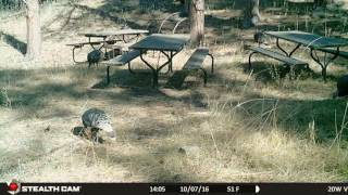 07oct16 2Vn Turkeys