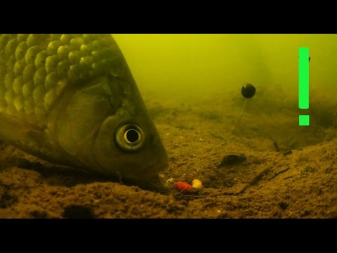 Поклевки на Поплавочную удочку с двух камер. Рыбалка. Ловля карася на поплавок. fishing, ประมง
