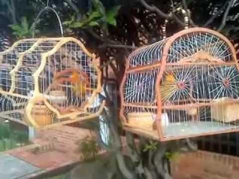 canarios criollo de Bosa recreo (Bogota Colombia)