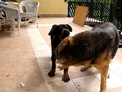 Rottweiler Dog Training In Hindi