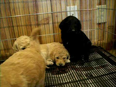 black mini goldendoodle puppies. Goldendoodle puppies for sale